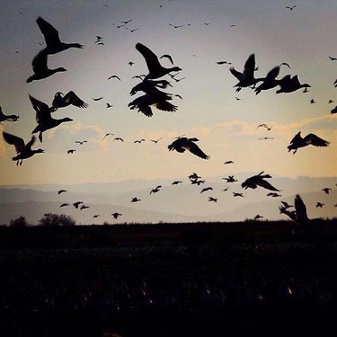 Hunting Snow Geese in Delta BC